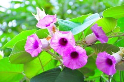Flor planta hawaiian baby woodrose